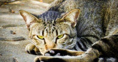 Insuffisance rénale chronique du chat