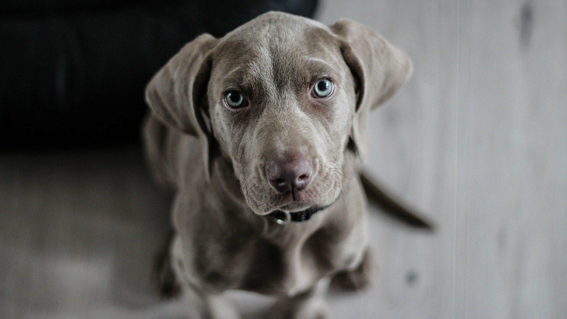 Braque de Weimar : Prix de ce chien, Caractère, Santé, Alimentation