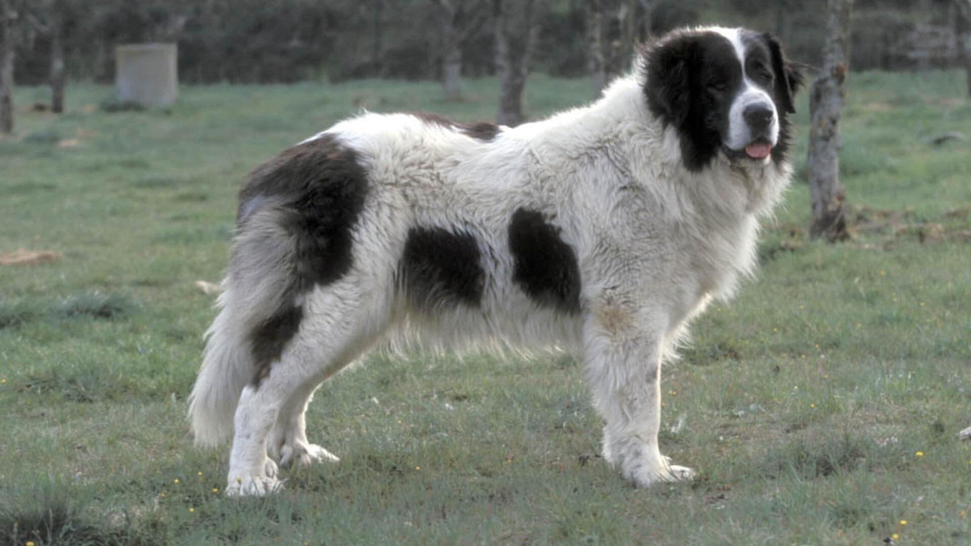 adopter Mâtin des Pyrénées
