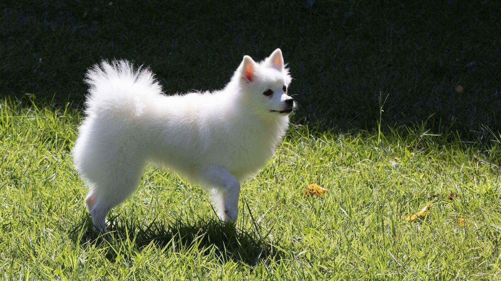 Spitz moyen : Prix de ce chien, Caractère, Santé, Alimentation