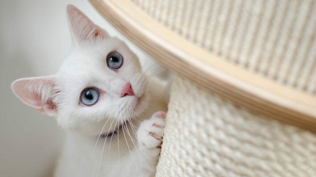 caractéristiques chat albinos