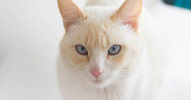 chat albinos
