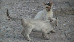chat maigre