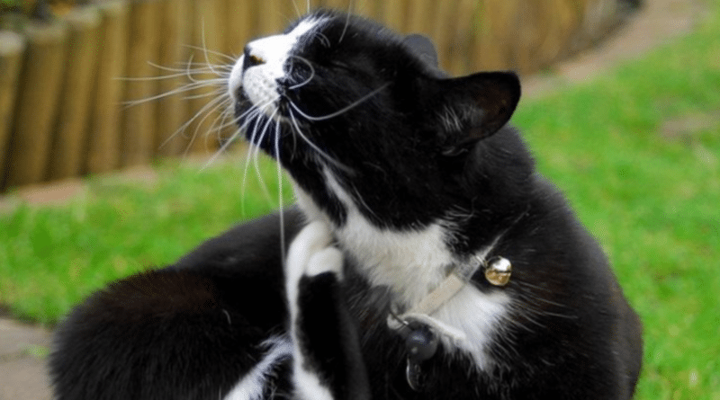 chat qui s'arrache les poils