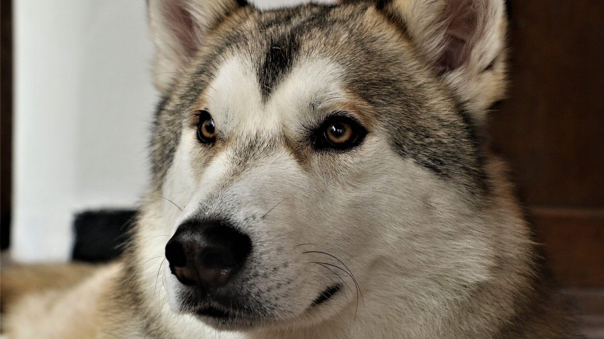 chien Tamaskan