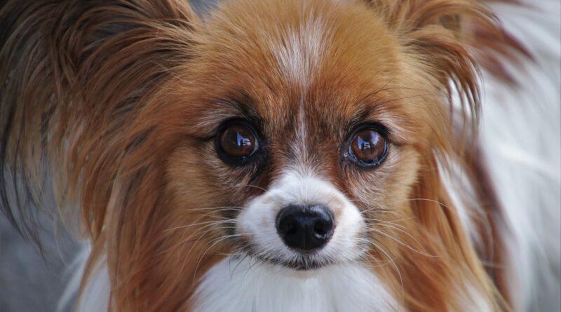 chien à poil long