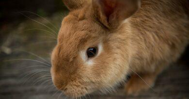coccidiose lapin