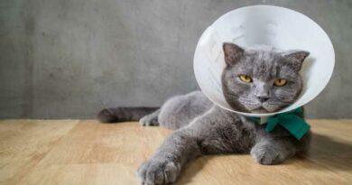 collerette pour chat