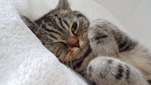 contraceptifs pour chat