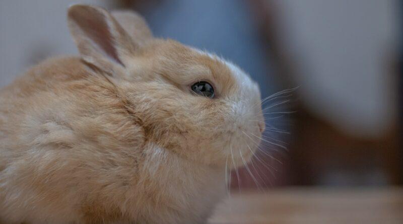 durée de vie d'un lapin