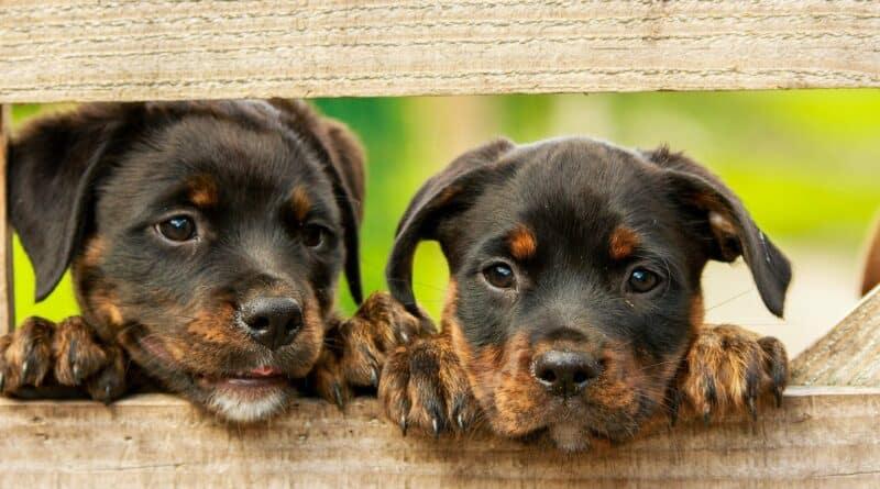 élevage de chiens