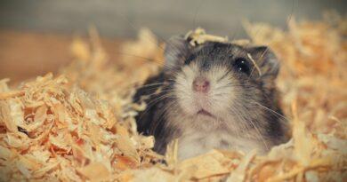 Le hamster : ce qu'il faut savoir avant d'en adopter un
