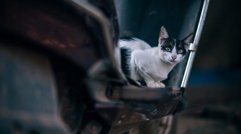 maladie de Lyme chez le chat