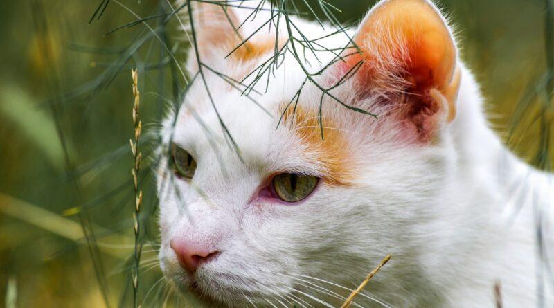 oreilles du chat