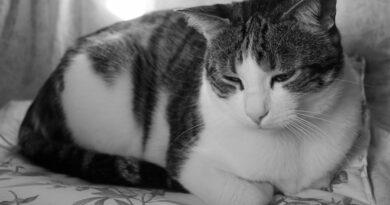 pancréatite chat