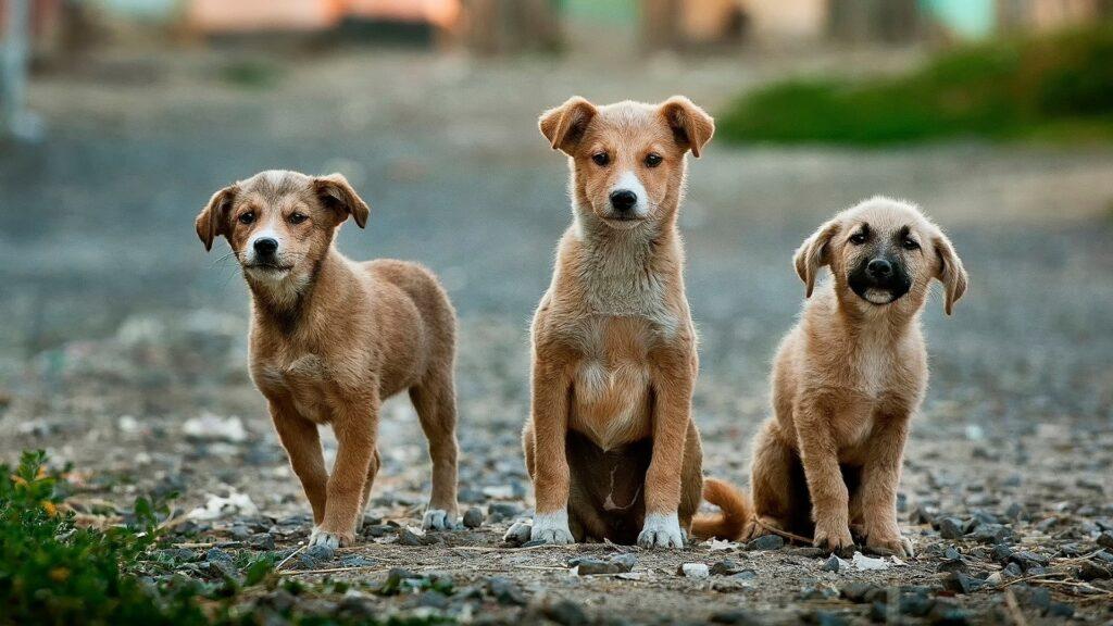 règlementation sur l'élevage de chiens