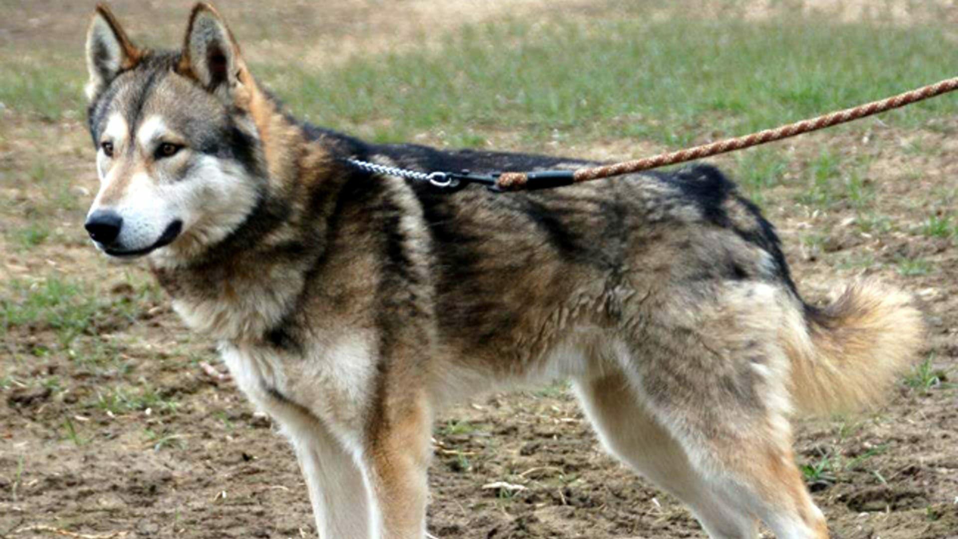 Tamaskan : Prix de ce chien, Caractère, Santé, Alimentation