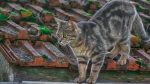 spécificités chat de gouttière