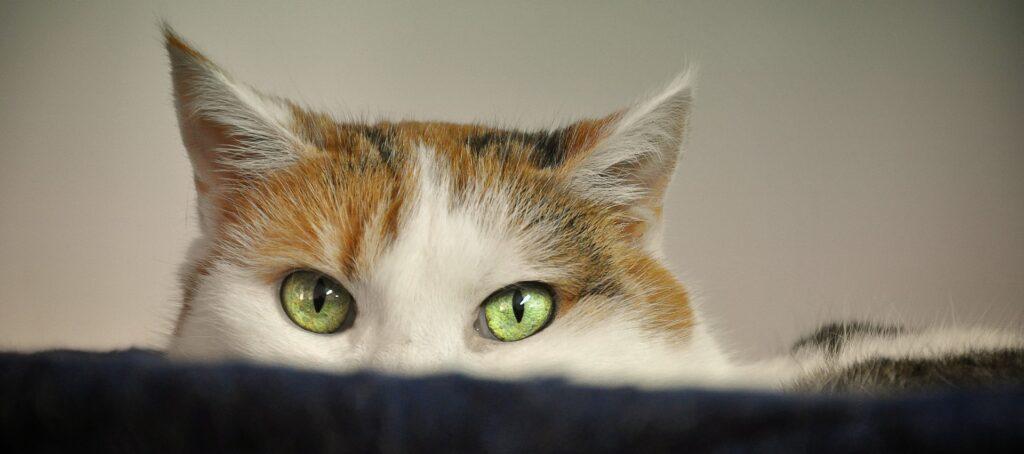 spécificités oreilles du chat
