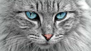 tatouage du chat
