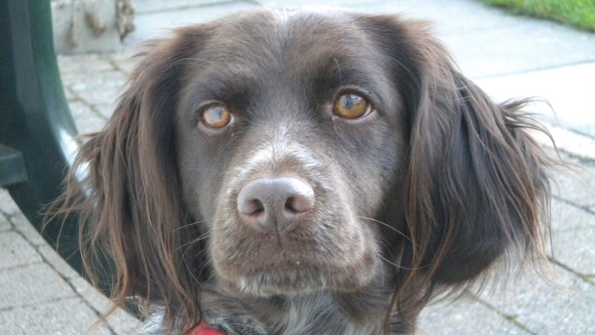 Petit münsterländer : Prix de ce chien, Caractère, Santé, Alimentation