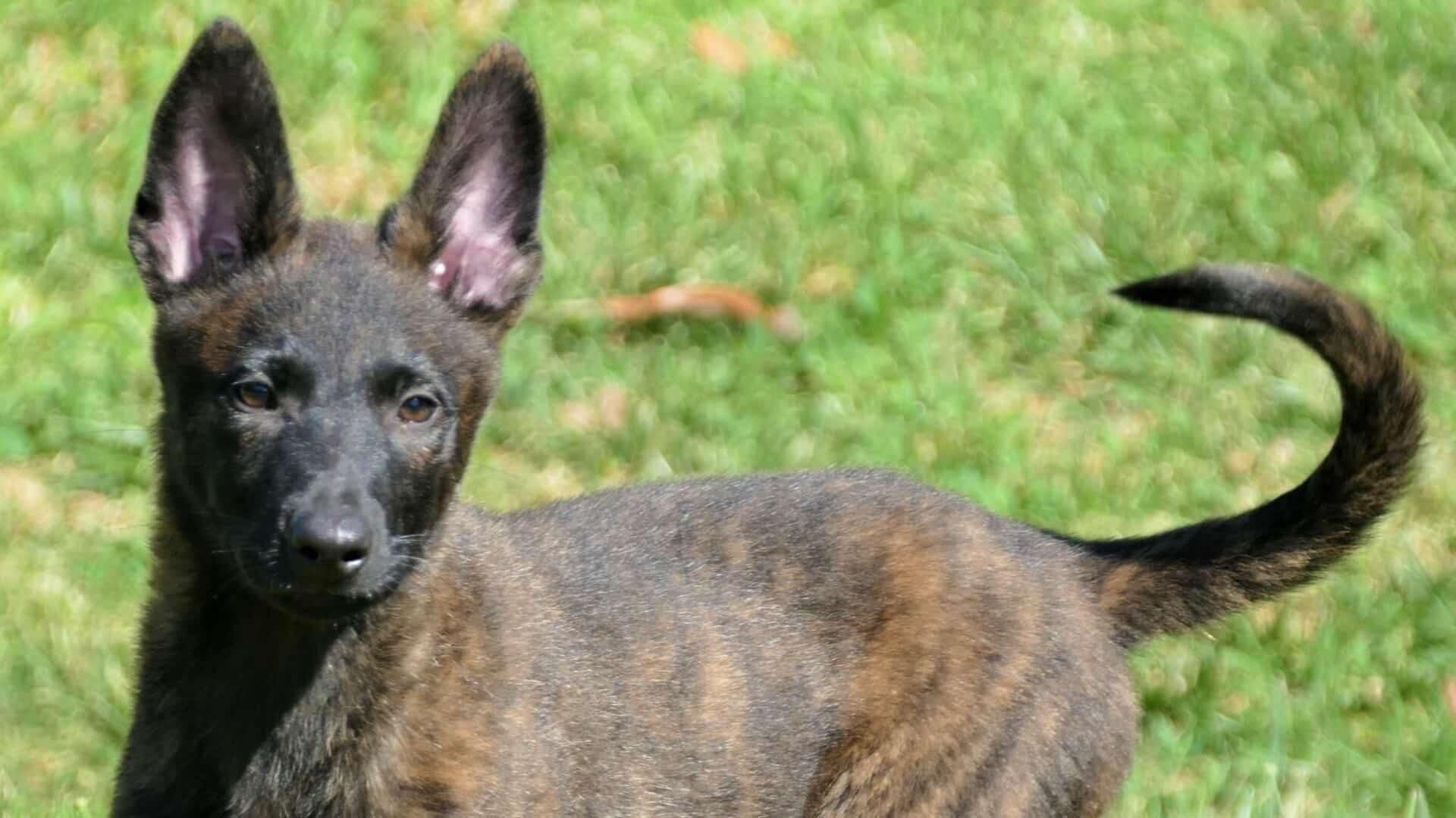 Berger hollandais : Prix de ce chien, Caractère, Santé, Alimentation