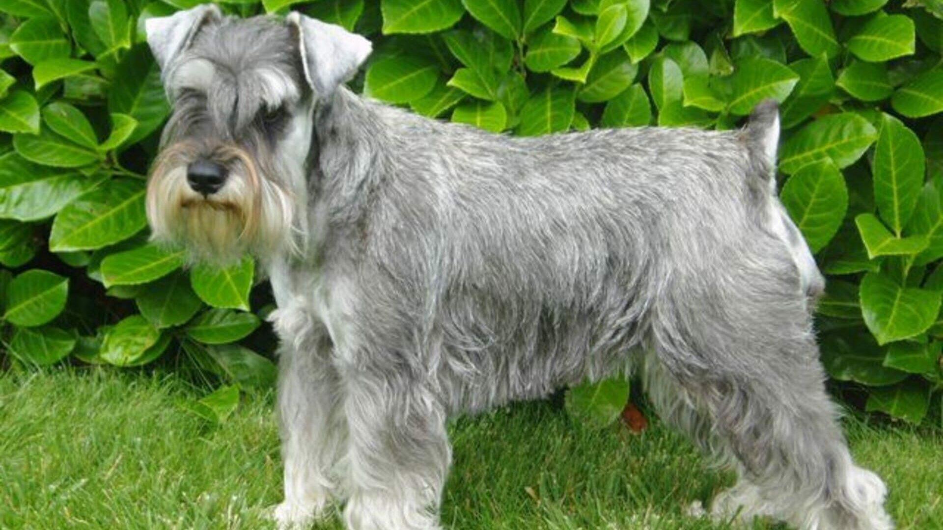 Schnauzer nain: Prix de ce chien, Caractère, Santé, Alimentation