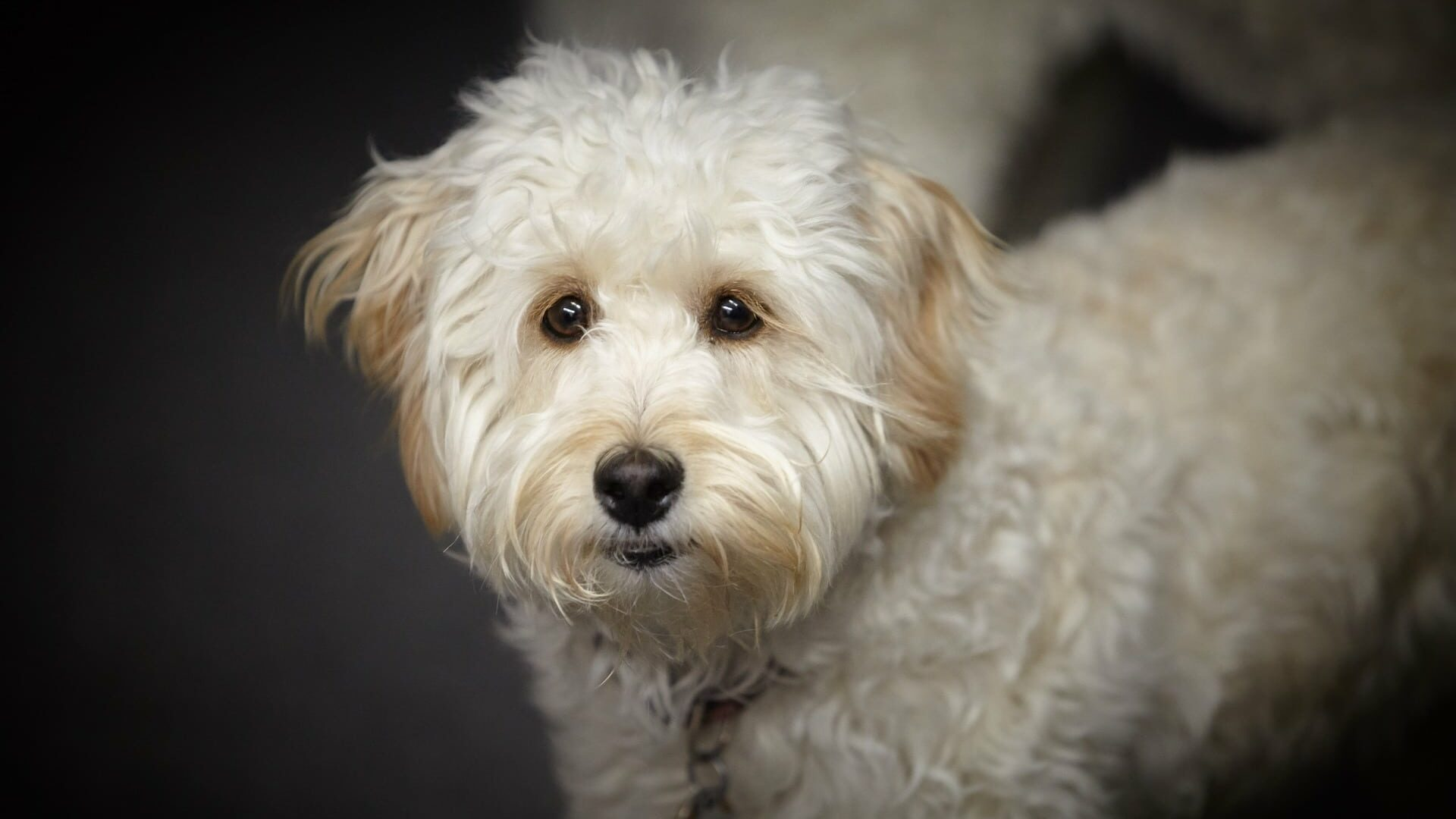 Labradoodle : Prix de ce chien, Caractère, Santé, Alimentation