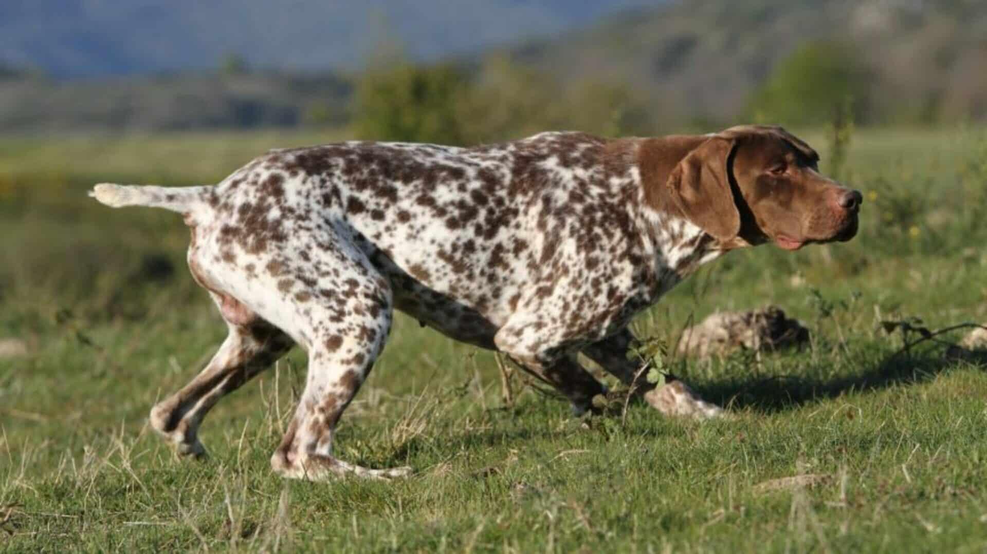 Braque français : Prix de ce chien, Caractère, Santé, Alimentation