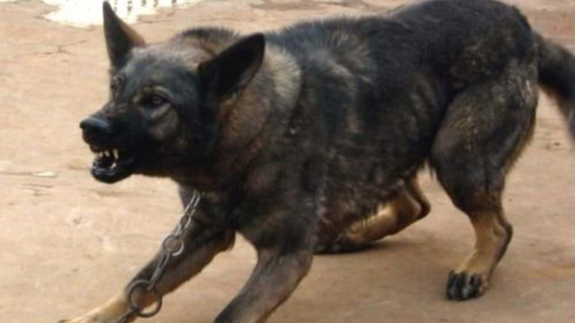 Kunming dog : Prix de ce chien, Caractère, Santé, Alimentation