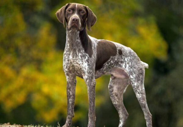 chien Braque français