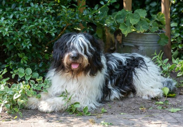 chien Schapendoes