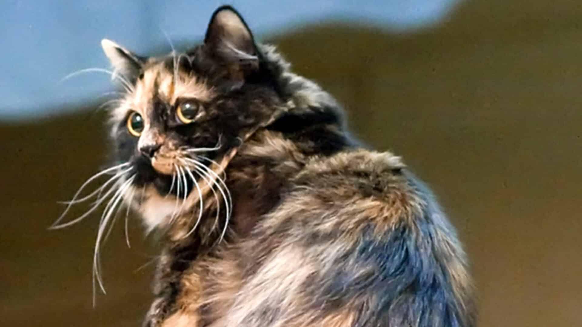 caractère chat Cymric