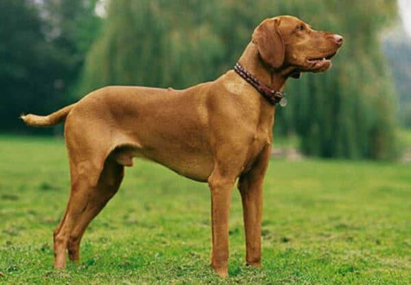 chien Braque hongrois