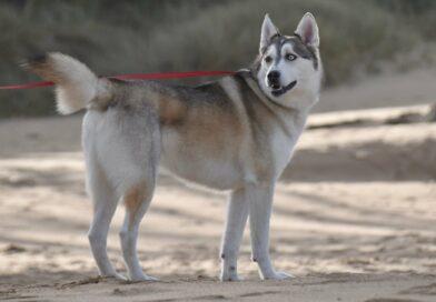 chien primitif