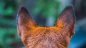 traitement Othématome du chien