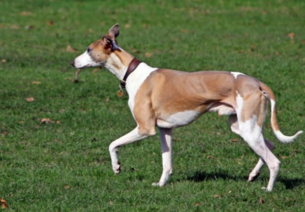 chien Whippet