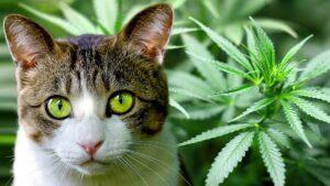 CBD pour chat